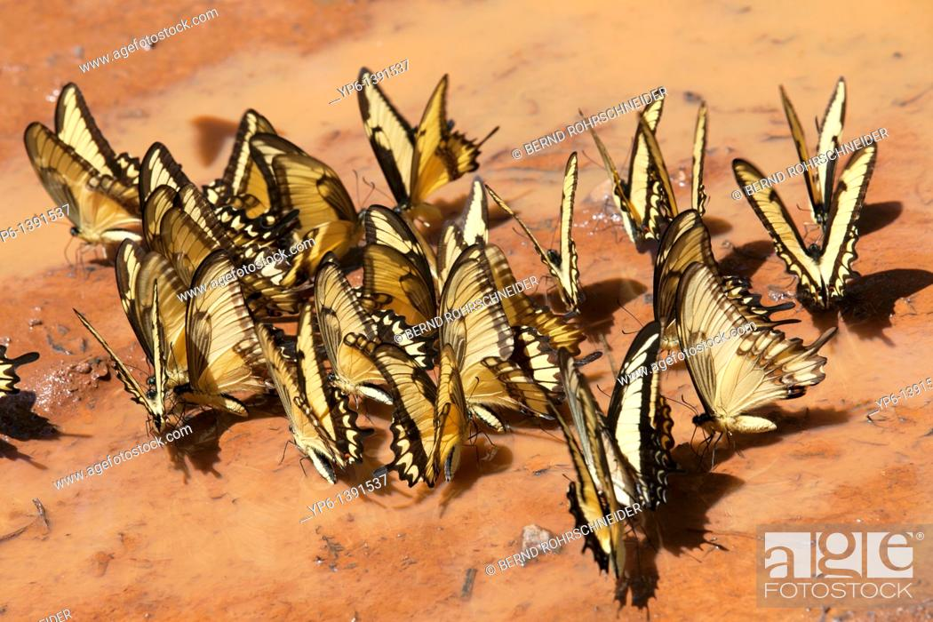 Stock Photo: butterflies sitting on ground and drinking water, Iguacu National Park, Argentina.