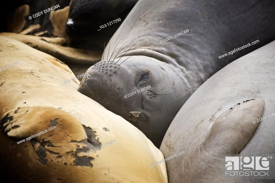 Stock Photo: Northern Elephant seals - Mirounga angustirostris - during spring moult at San Simeon - Piedras Blancas, California.