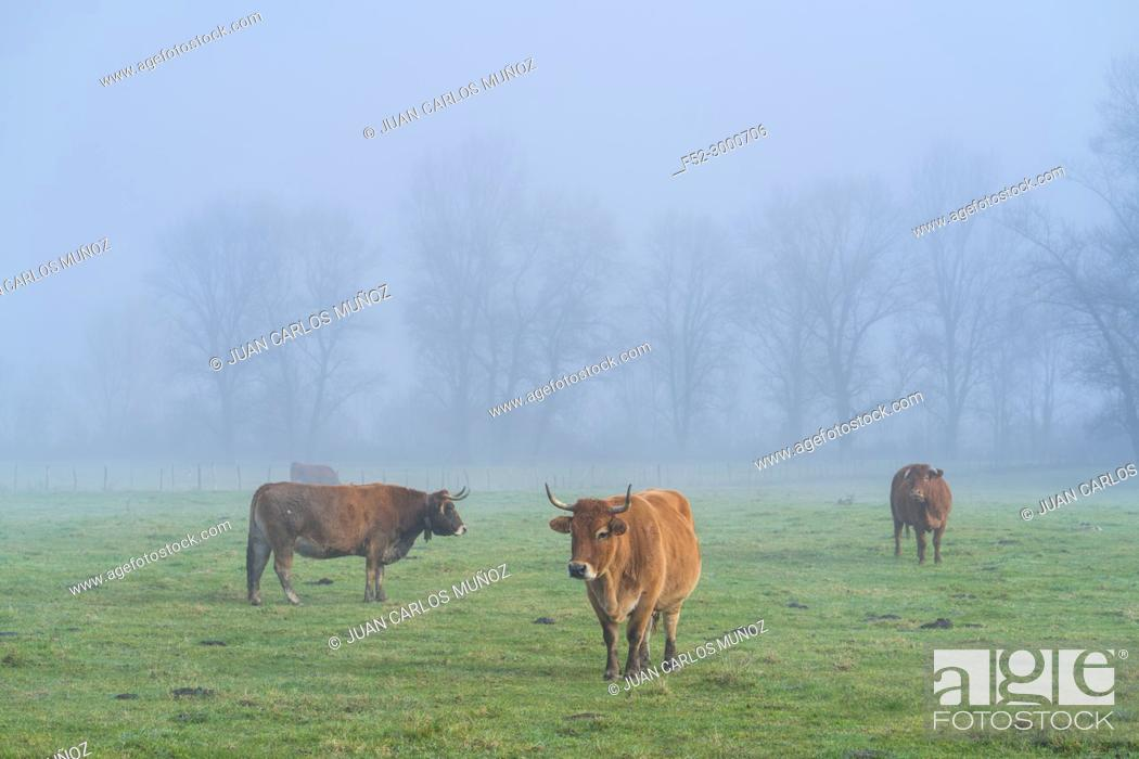 Stock Photo: Cows and fog, Orduña, Sierra Salvada, Bizkaia, Basque Country, Spain, Europe.