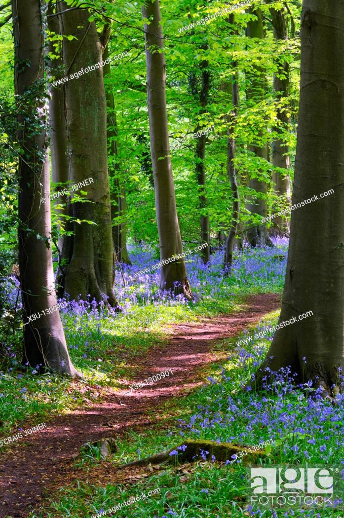 Stock Photo: Bluebells in Standish Wood in the Cotswolds near Stroud, Gloucestershire, England, United Kingdom.