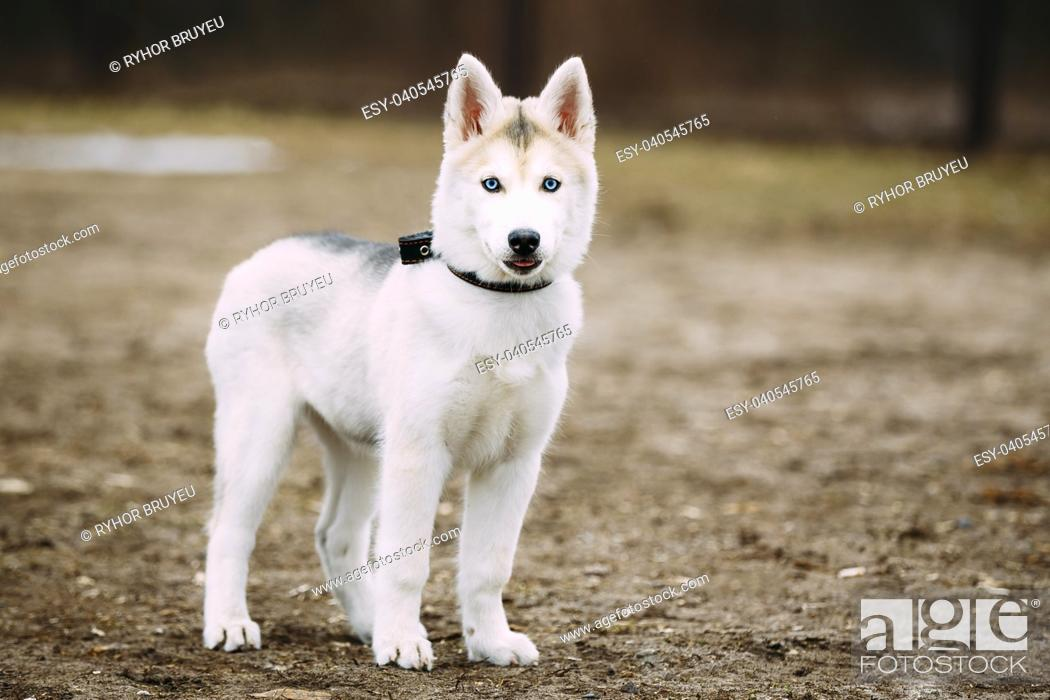 Young Funny White Husky Puppy Dog With