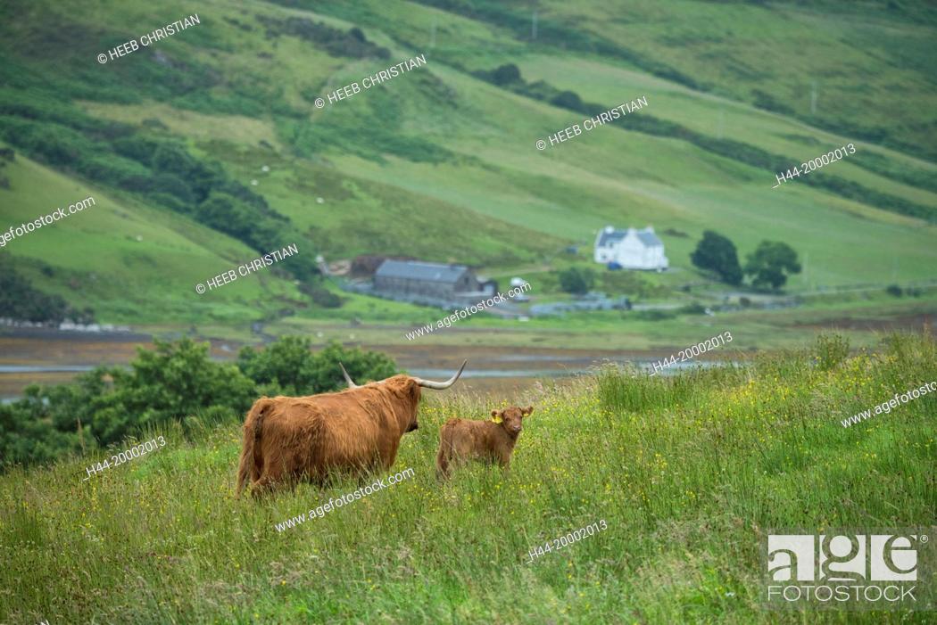 Stock Photo: Scotland, Hebrides archipelago, Isle of Skye, Bos taurus, Highland cattle.