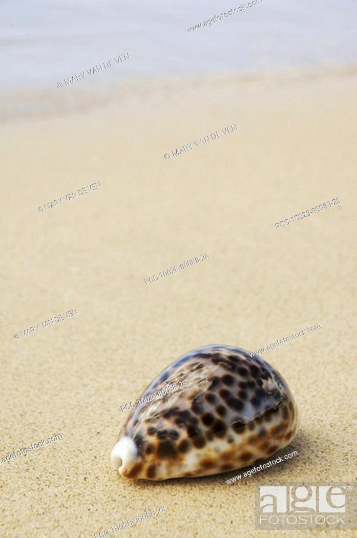 Stock Photo: Cowrie shell laying on sandy beach with ocean background.