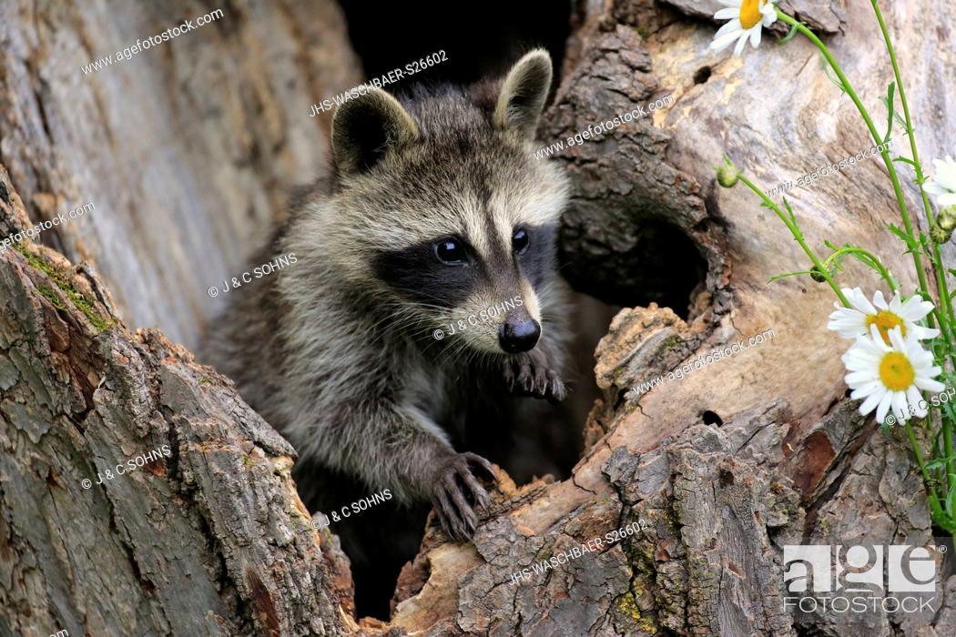 Stock Photo: North American Raccoon, common raccoon, North American raccoon, (Procyon lotor), young on tree alert, Pine County, Minnesota, USA, North America.