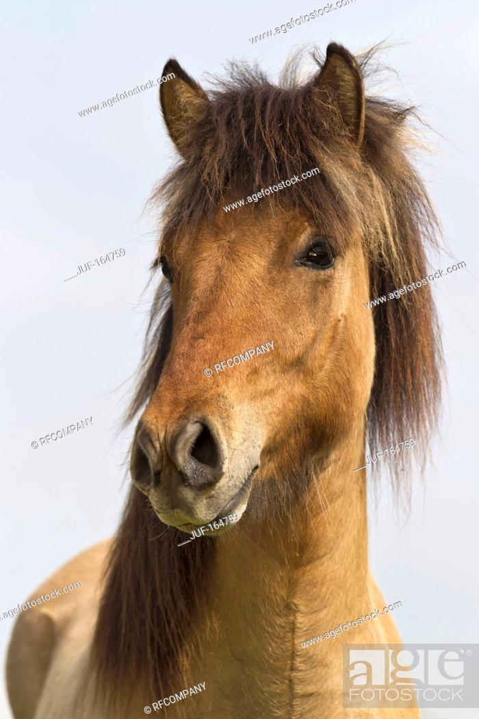 Imagen: Icelandic horse - portrait.