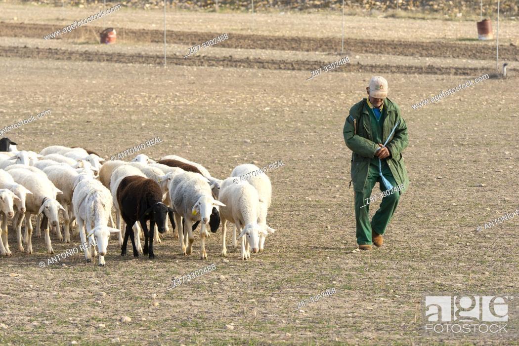 "Stock Photo: Flock of ""Manchega"" sheep with shepherd. Sugel. Almansa. Albacete . Castile-La Mancha. Spain."