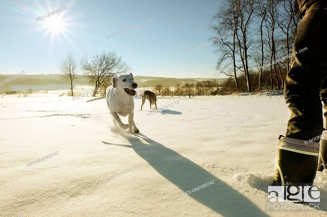 Stock Photo: Germany, Bergisches Land, man with running dogs in winter landscape.
