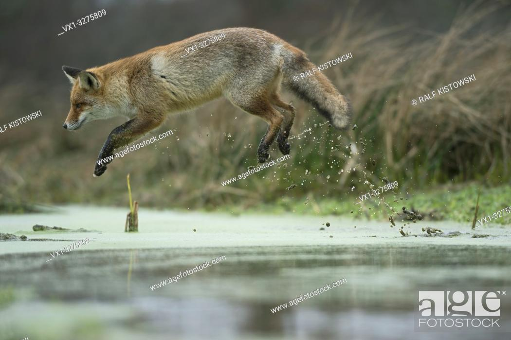 Imagen: Red Fox ( Vulpes vulpes ), adult in winterfur, jumping over a little creek in a swamp, far jump, looks funny, wildife, Europe.