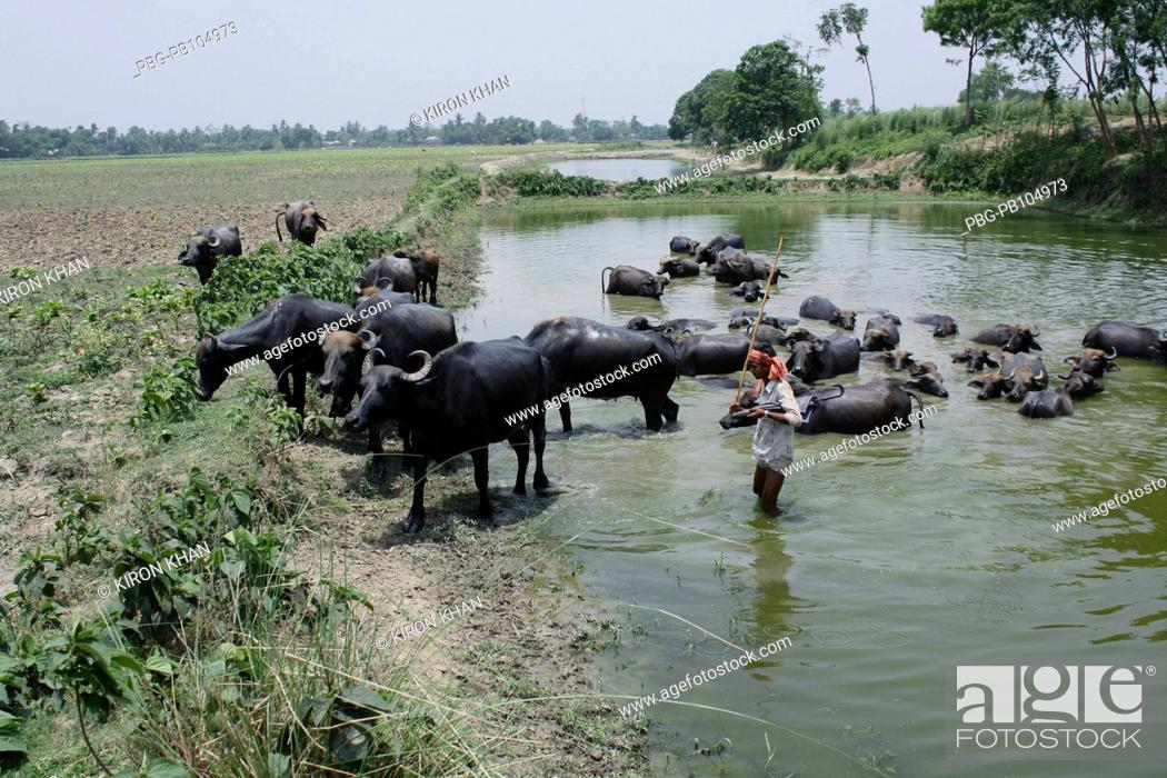 Stock Photo: A herd of buffaloes taking summer bath in the Moshan canal Kushtia, Bangladesh May 2010.
