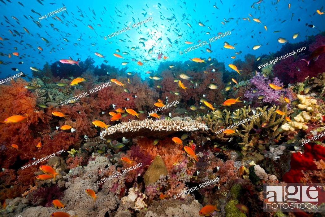 Imagen: Colored Soft Coral Reef, Red Sea, Ras Mohammed, Egypt.