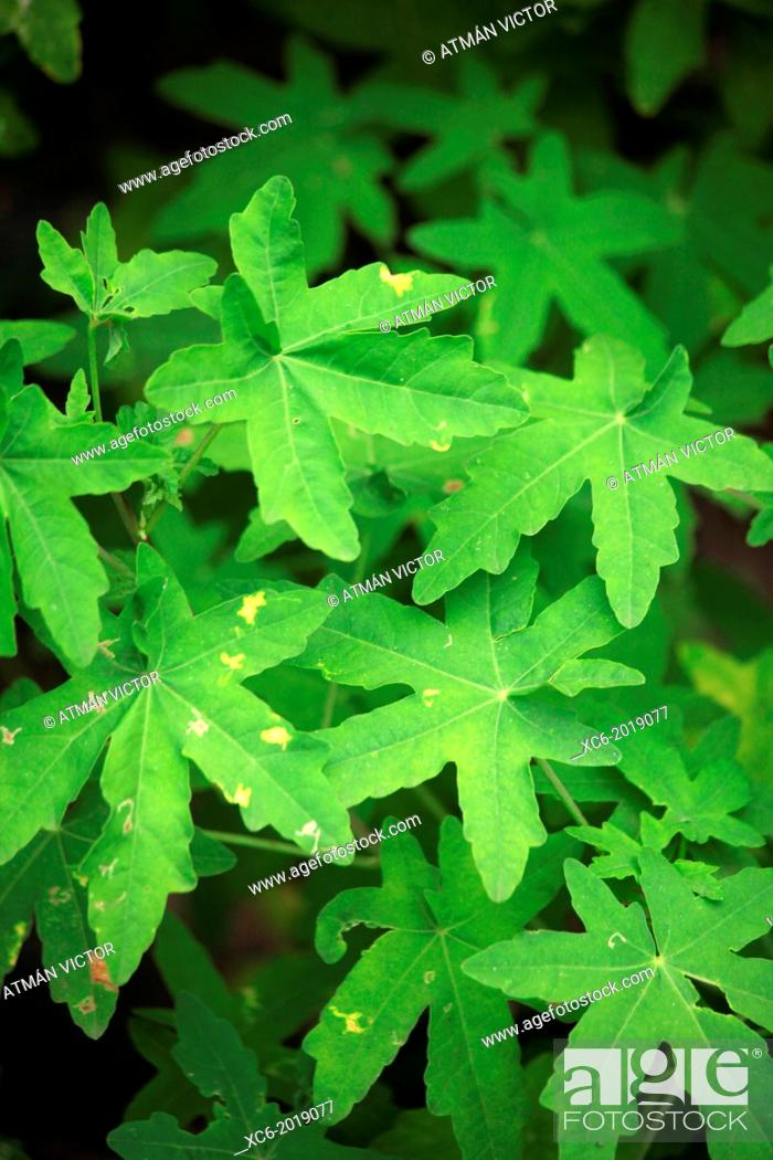 Stock Photo: Anaga forests endemic plant. Tenerife island . spain.