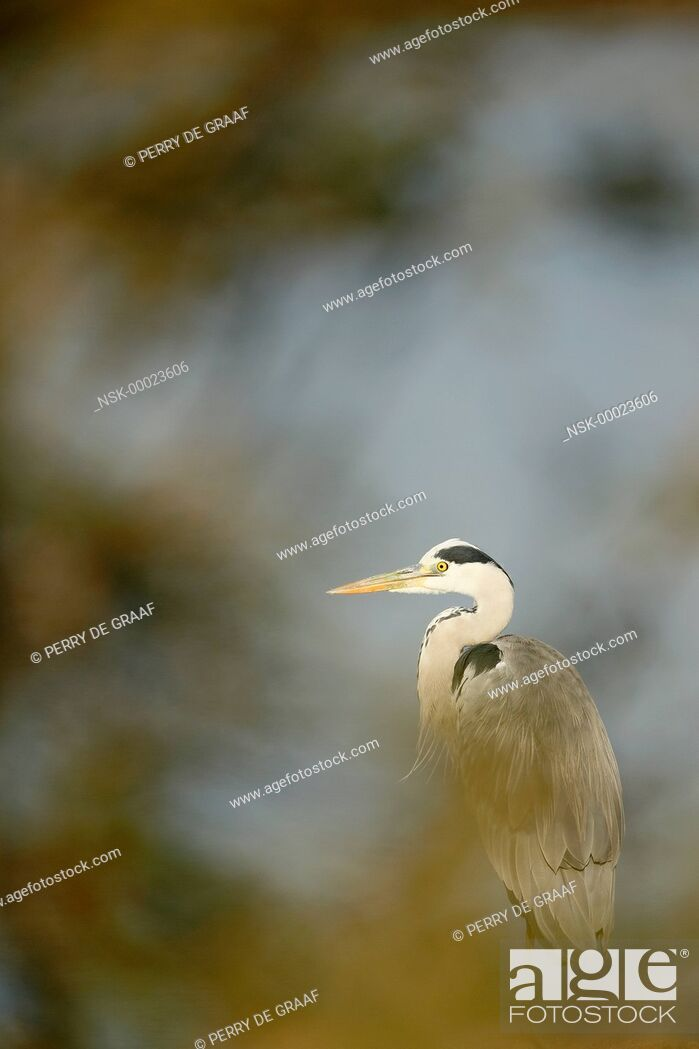 Imagen: Grey Heron (Ardea cinerea) standing behind vegetation, South Africa, Mpumalanga, Kruger National Park.