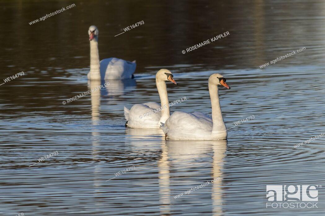 Imagen: A mute swan on the riverside of the saar. Germany, Saarland, Saarbruecken.