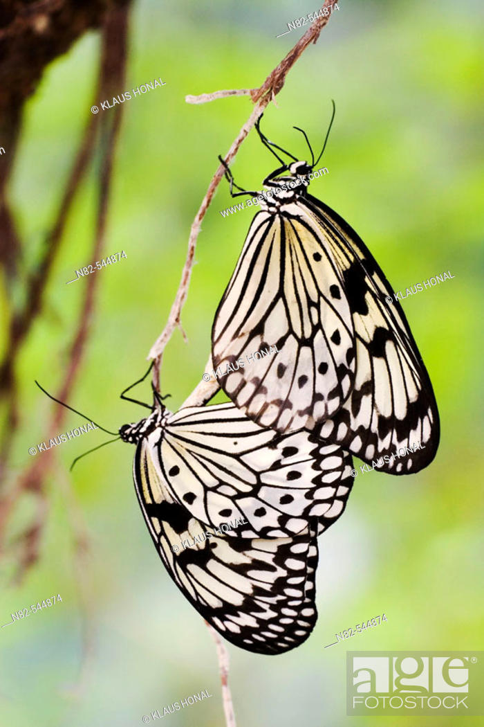 Stock Photo: White Tree Nymphs (Idea leuconoe) mating.
