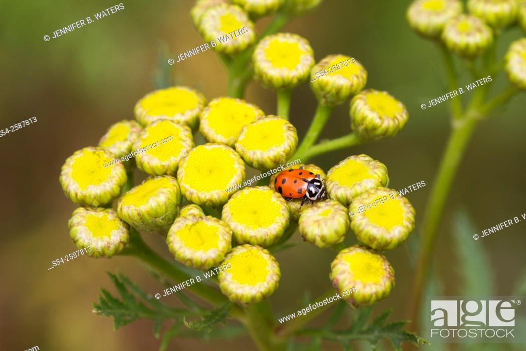 Stock Photo: A convergent lady beetle, or Hippodamia convergens, on a Tansy weed, or Tanacetum vulgare.