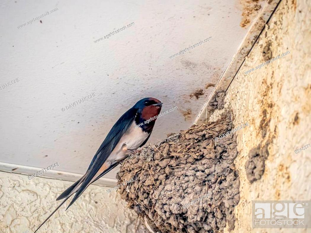 Stock Photo: A Japanese barn swallow, Hirundo rustica gutturalis, in its nest outside a Japanese train station in Kanagawa Prefecture.