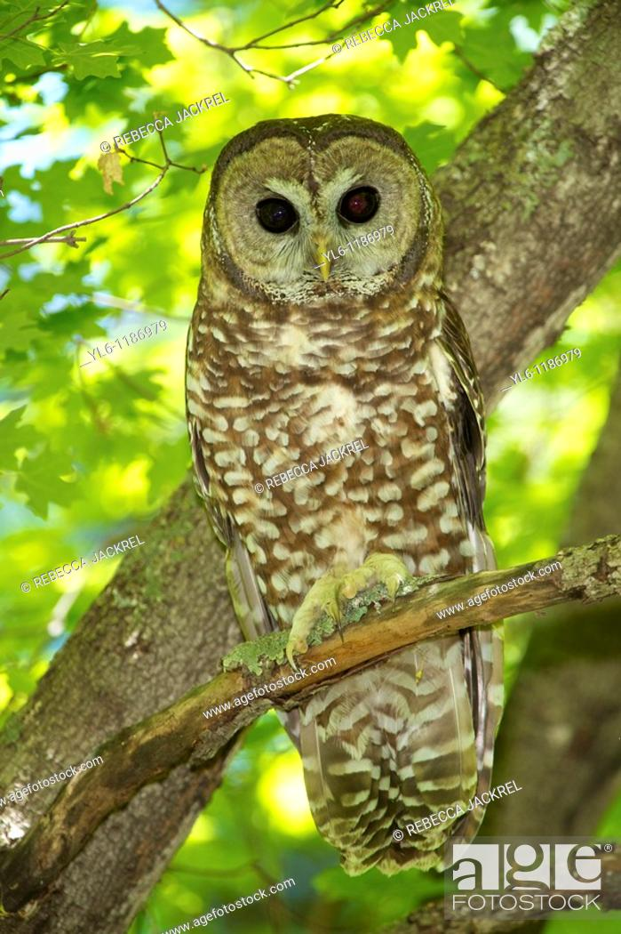 Stock Photo: North America, USA, Arizona, Miller's Canyon  Mexican Spotted Owl.