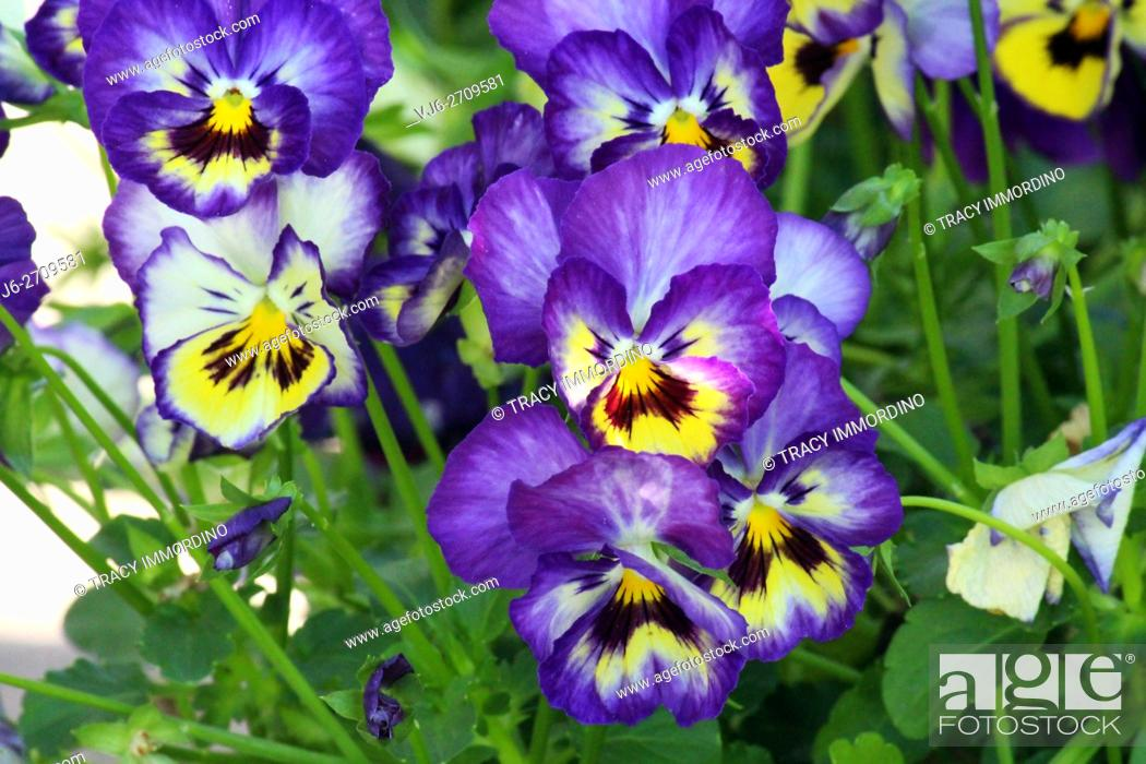 Stock Photo: Close up of a cluster of purple and yellow pansies blooming in Trevor, Wisconsin.
