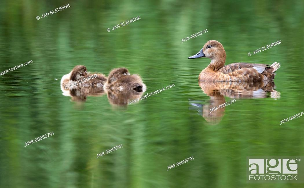 Stock Photo: Common Pochard (Aythya ferina) female with two ducklings resting in the water, The Netherlands, Groningen, Lauwersmeer.