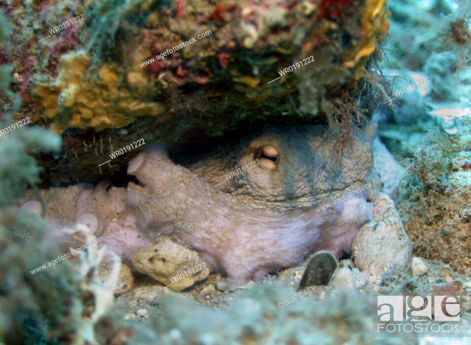 Imagen: Octopus Spanish Mediterranean.
