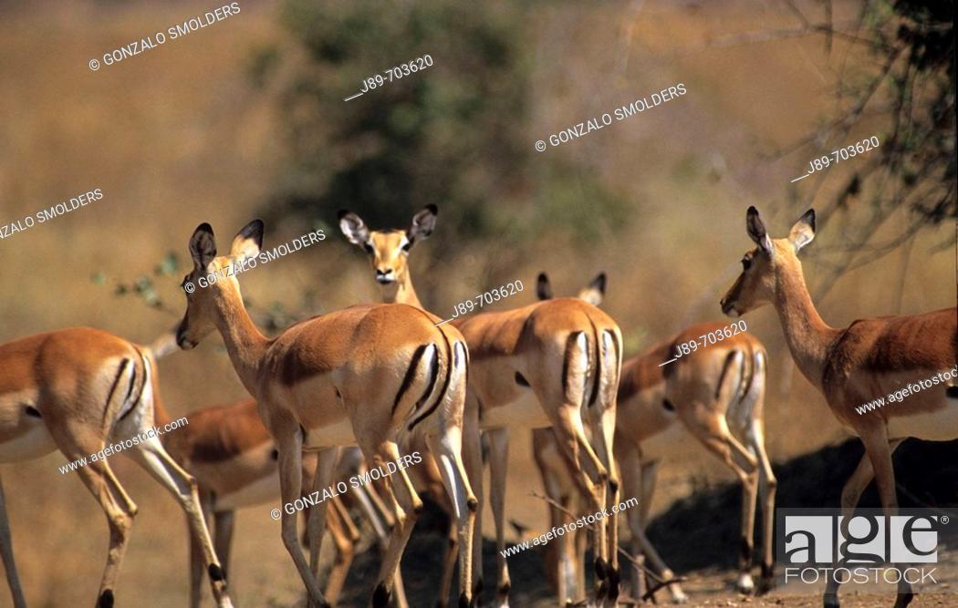 Stock Photo: Impalas.
