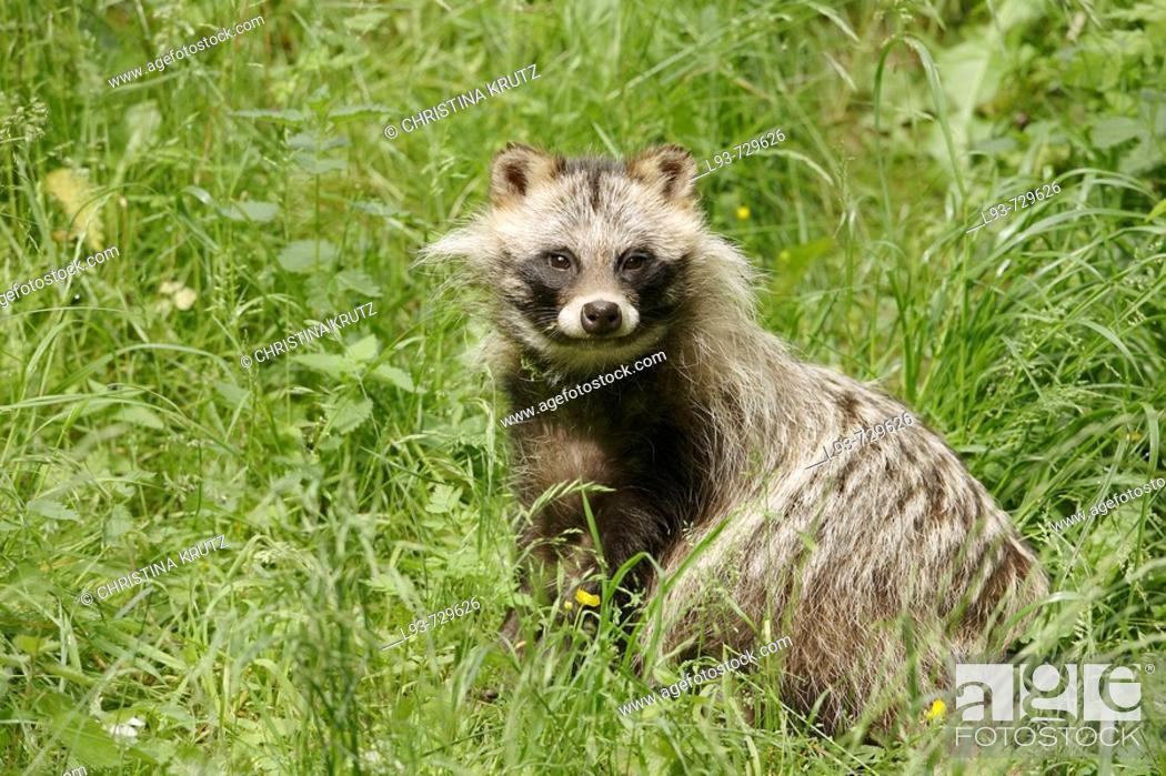Stock Photo: Raccoon dog , Nyctereutes procyonoides.