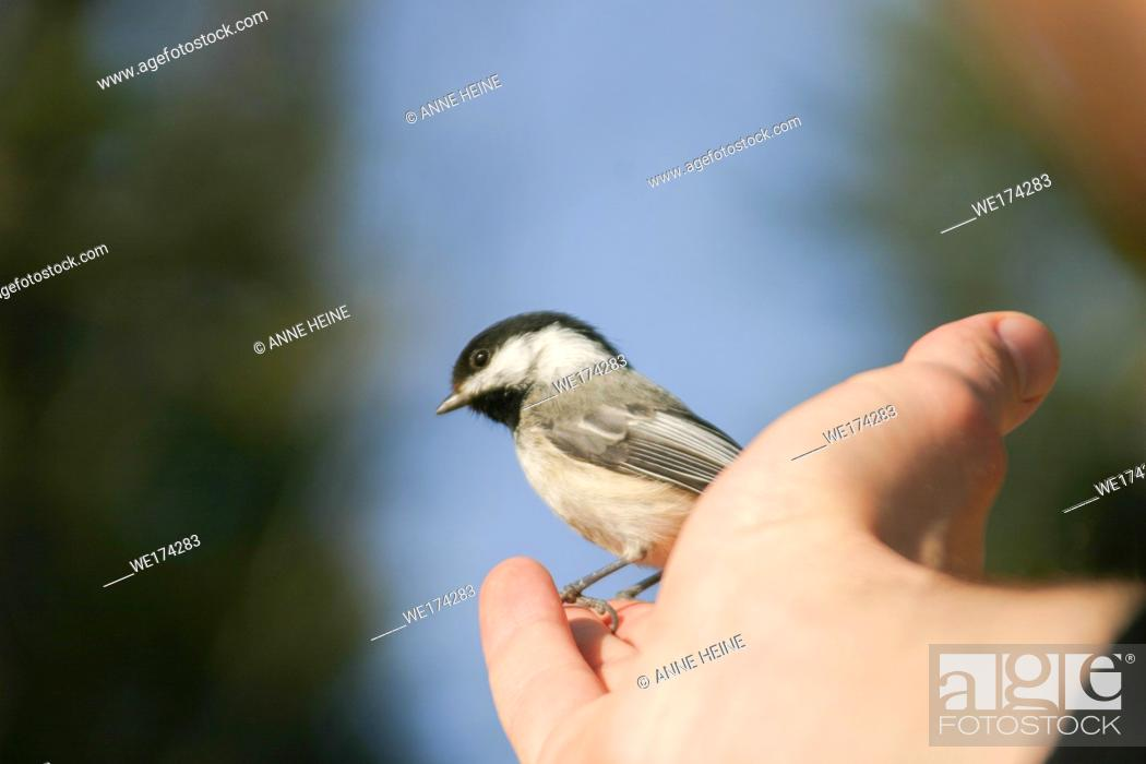 Stock Photo: Wild Black-capped chickadee (Poecile atricapillus) sitting on hand expecting being fed, , Calgary, Alberta, Canada.