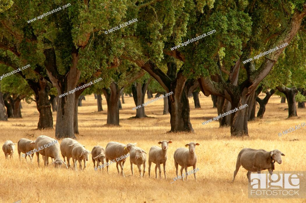 Stock Photo: Merino Sheep (Ovis aries), Holm Oak or Holly Oak forest (Quercus suber). Sierra de San Pedro, Extremadura, Spain.