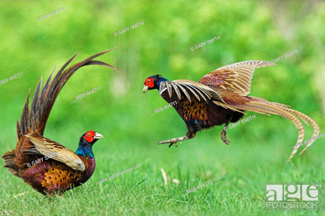Stock Photo: Pheasants (phasianus colchicus) two cockbirds fighting, Norfolk UK, May.