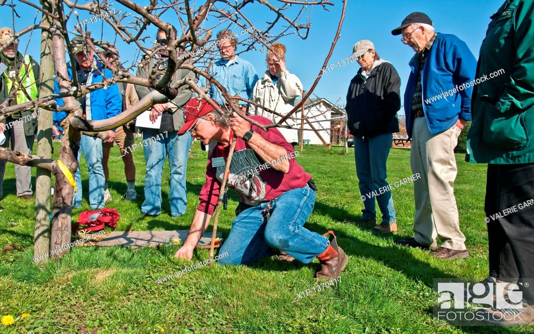 Stock Photo: This editorial stock image is of a vole and mole trapping demonstration at the foot of a young fruit tree in early spring  This demonstration was held on March.
