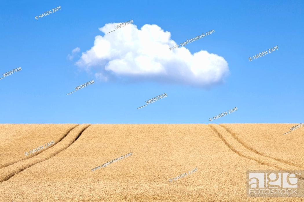 Stock Photo: a field of wheat.