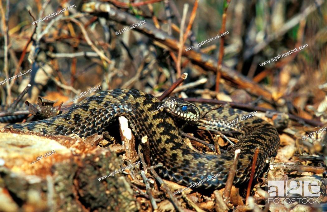 Stock Photo: Common viper.