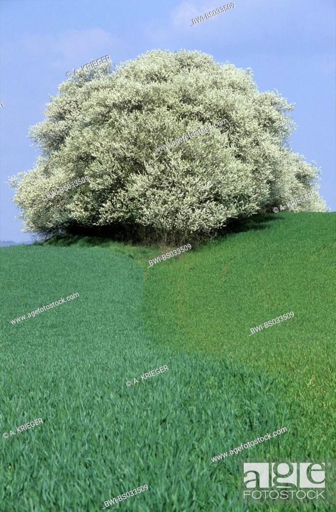 Stock Photo: blackthorn, sloe (Prunus spinosa), hedge in cultural landscape, Germany, Saarland, Mimbach.