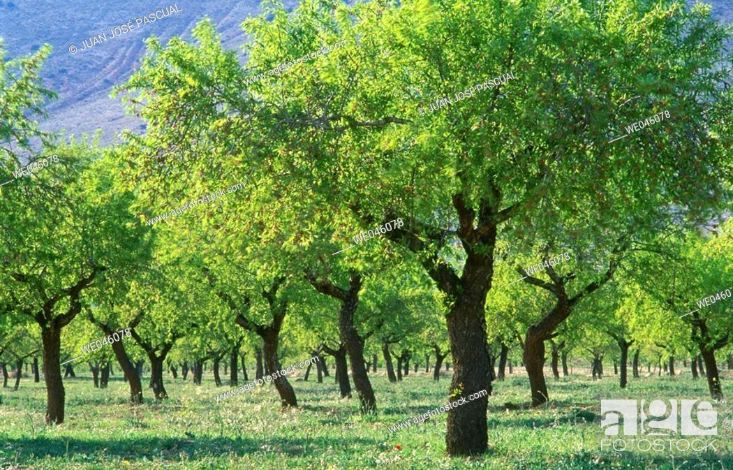 Stock Photo: Almond trees, Chirivel. Almería province, Andalusia, Spain.