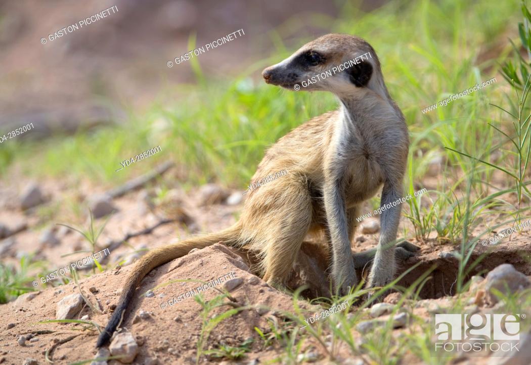 Stock Photo: Suricates (Suricata suricatta), Kgalagadi Transfrontier Park, Kalahari desert, South Africa/Botswana.