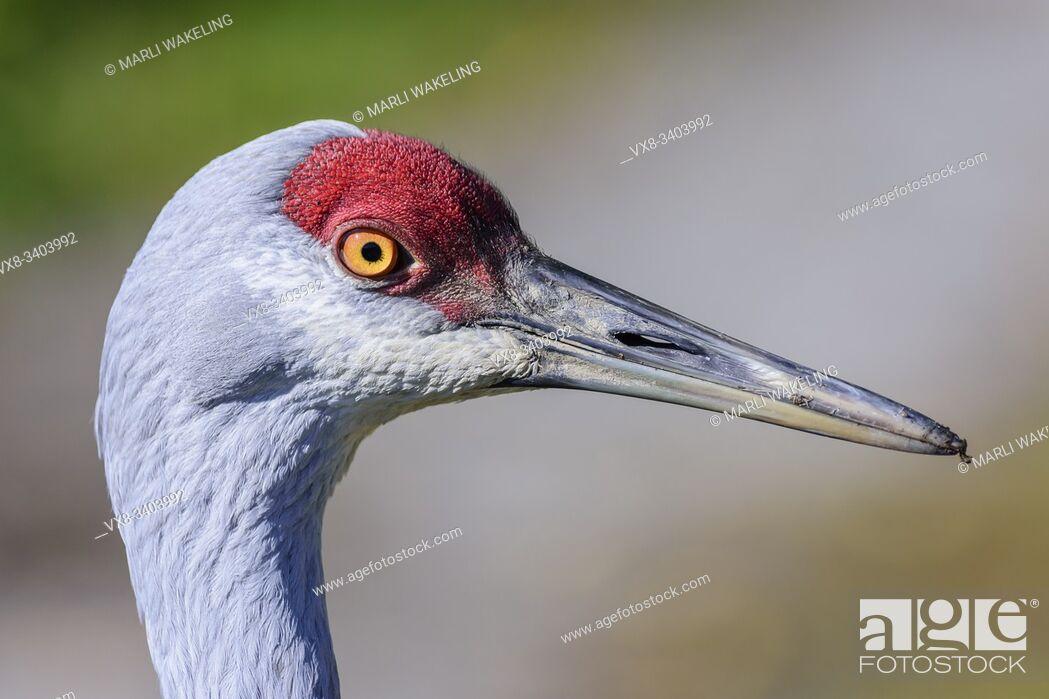 Stock Photo: Lesser Sandhill Crane, Grus canadensis canadensisâ. Ž, also known as Antigone canadiensis canadiensis, George C. Reifel Migratory Bird Sanctuary, Delta.