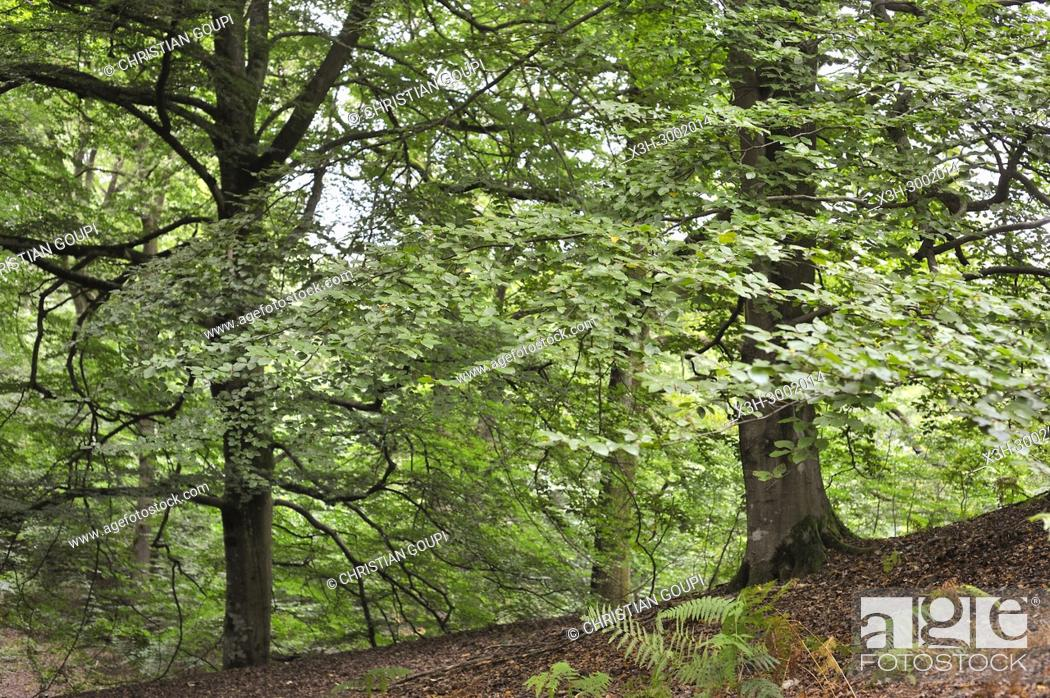 Stock Photo: beech tree grove in the Forest of Rambouillet, Haute Vallee de Chevreuse Regional Natural Park, Department of Yvelines, Ile de France Region, France, Europe.