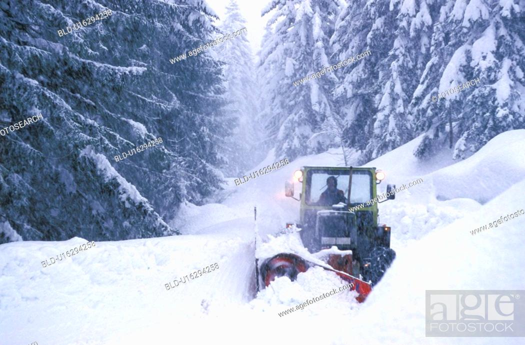 Stock Photo: Bernhard, cold, conifer, coniferae, cow, forest.