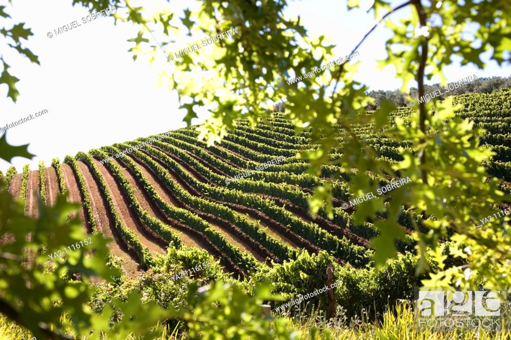 Stock Photo: Tokara Vineyards - Cape Town.