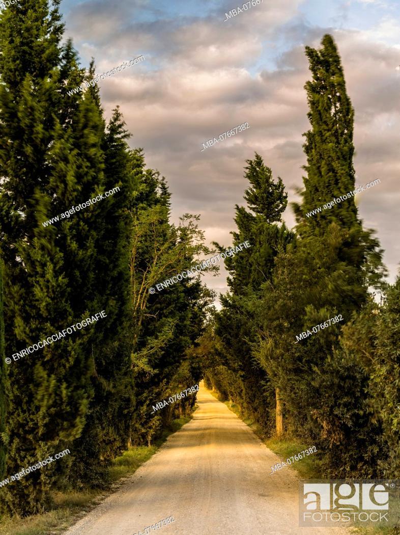 Stock Photo: Cypress avenue in Tuscany.