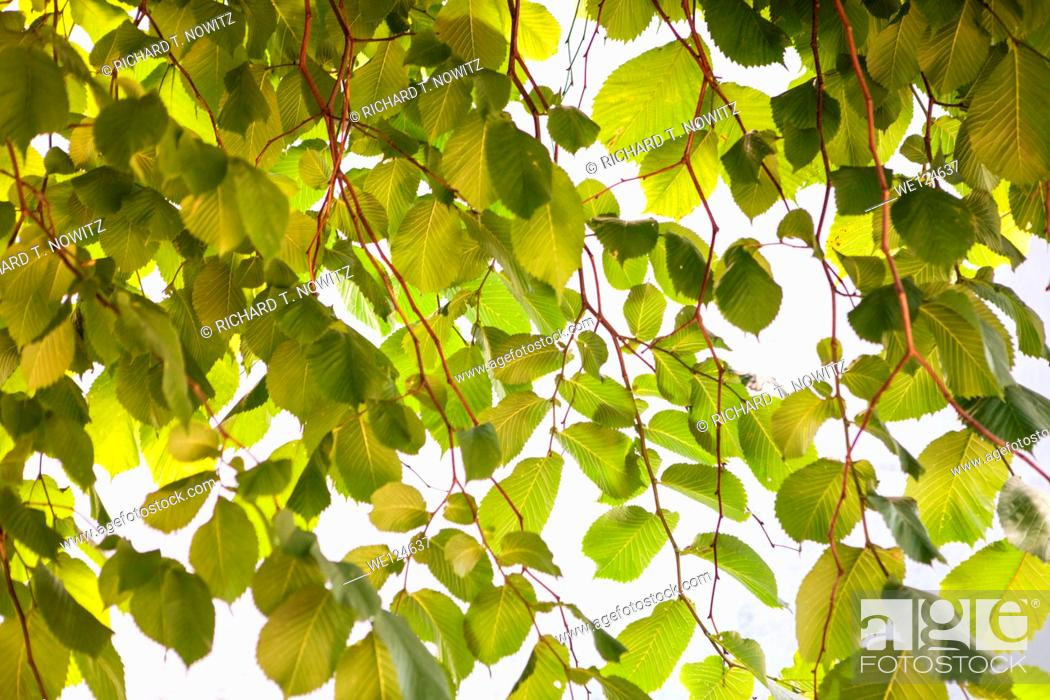Stock Photo: Cascade of green leaves backlit forms an abstract natural pattern in green.