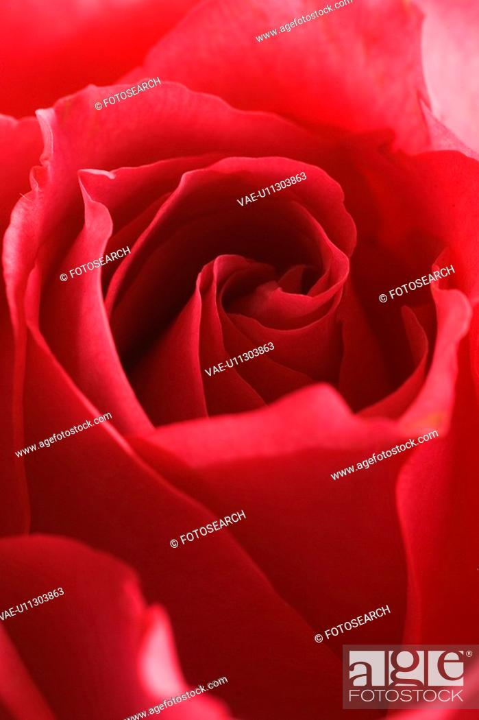 Stock Photo: Day, Red Rose.