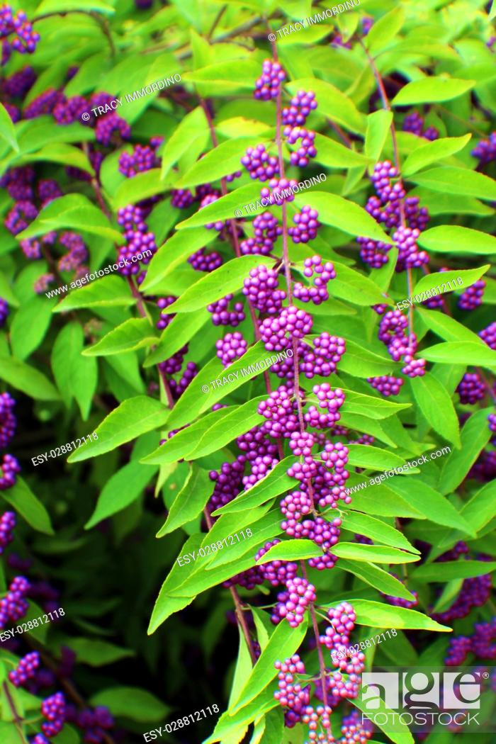 Stock Photo: Close up of purple berries of the Beautyberry, a deciduous shrub.