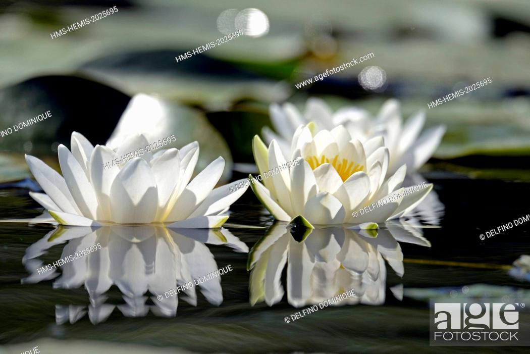Stock Photo: Romania, Danube Delta listed as World Heritage by UNESCO, flora, White Lily (Nymphaea alba) in bloom on a lake delta.