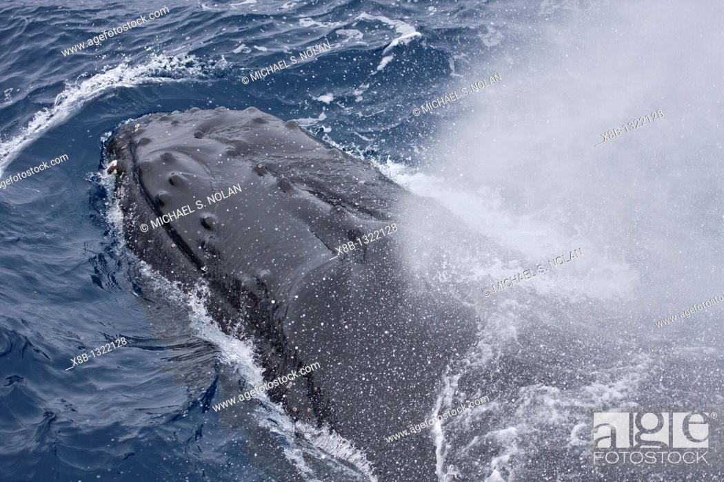Stock Photo: Humpback whale, Megaptera novaeangliae, in Drake Passage some 330nm north of the Antarctic Peninsula.  Humpback whale populations here are severely depleated.