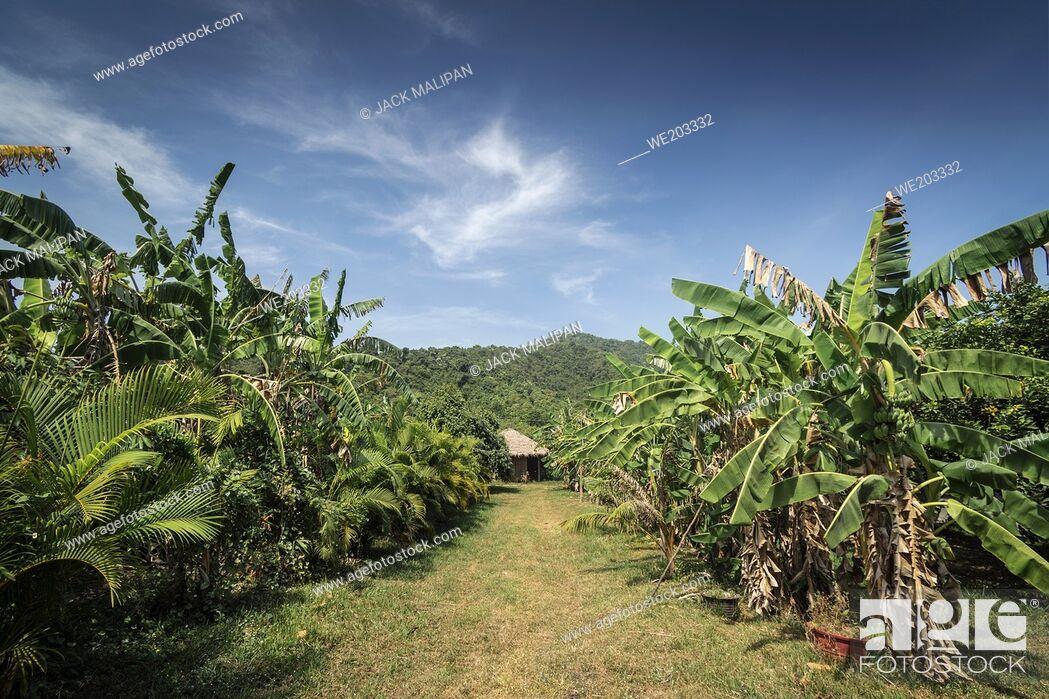 Stock Photo: view of banana plantation on rural organic fruit farm near kampot cambodia on sunny day.