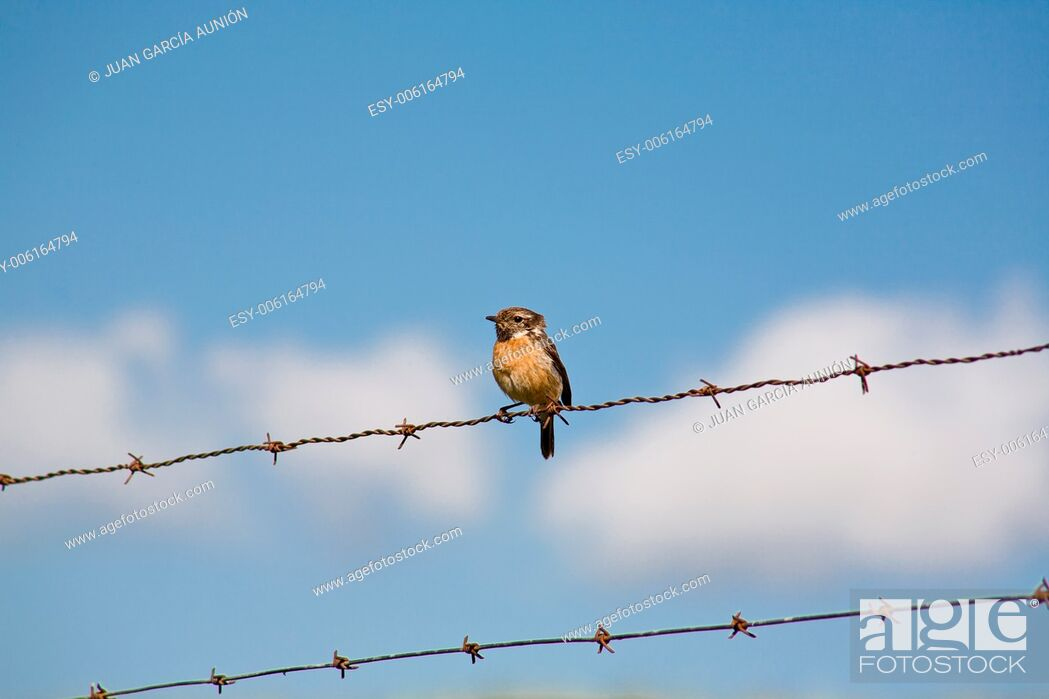 Imagen: Saxicola Torcuata on wire fence and background blue, Extremadura, Spain.