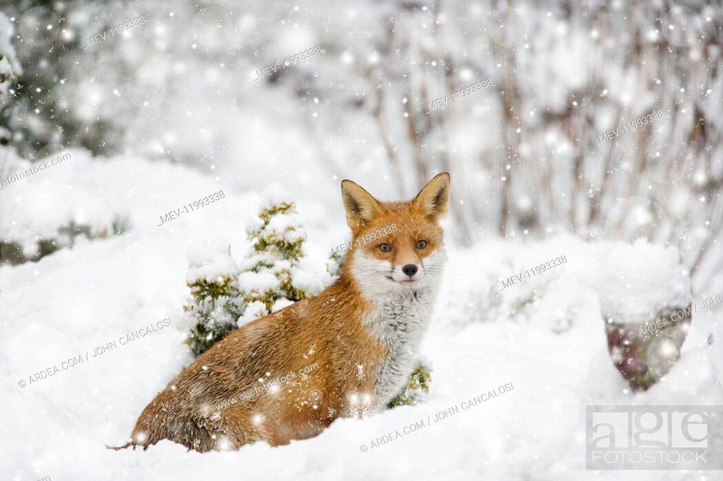 Stock Photo: Fox, in garden snow, Essex, UK Digital manipulation.