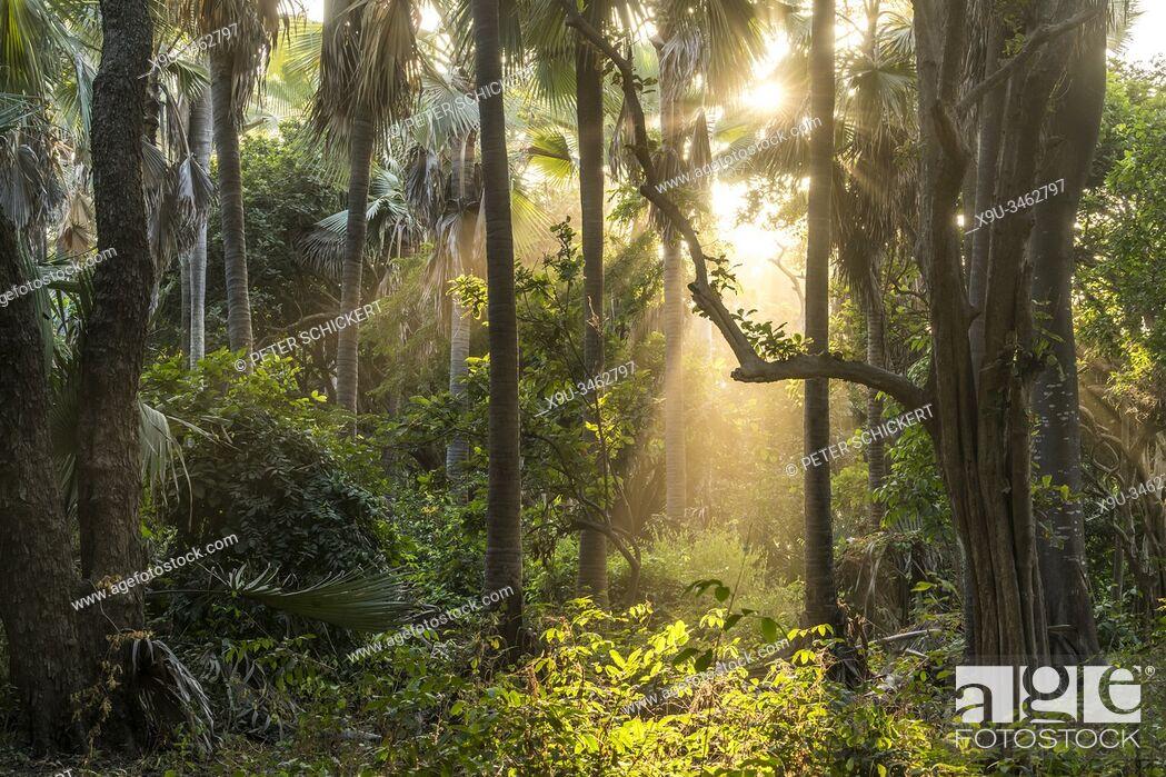 Stock Photo: Sonnenstrahlen im Urwald, Bijilo Forest Park, Bijilo, Gambia, Westafrika   sun rays in the jungle, Bijilo Forest Park, Bijilo, Gambia, West Africa, .