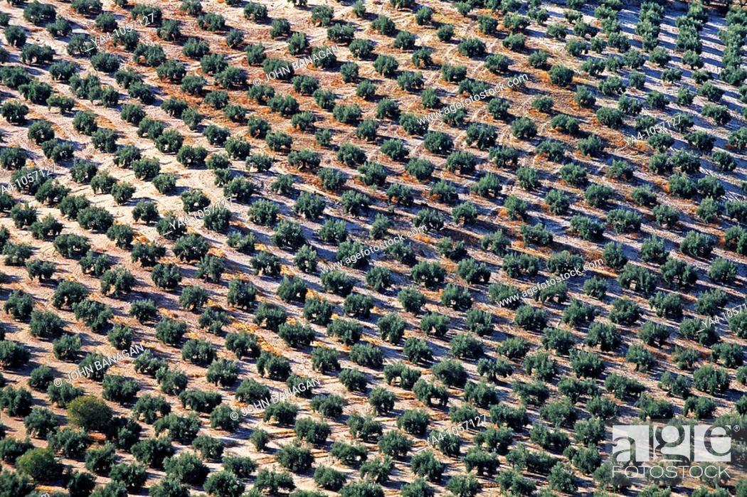 Stock Photo: Jaen area , rows of olive trees.